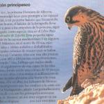 un halcon principesco